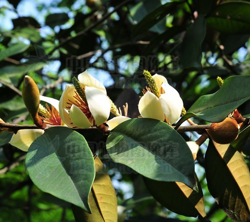 Michelia foveolata seeds
