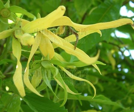 Cananga odorata seeds