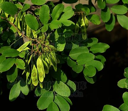 Dalbergia hupeana seeds