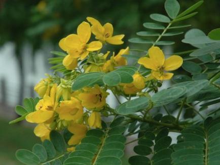 Sophora xanthantha seeds