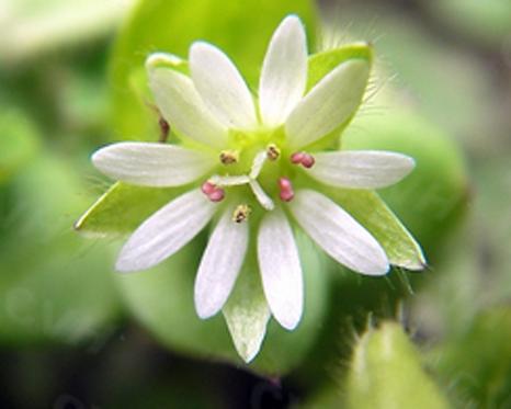 Stellaria media seeds