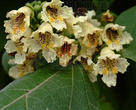 Catalpa ovata seeds