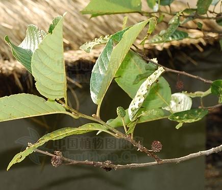 Alnus ferdinandi-coburgii seeds