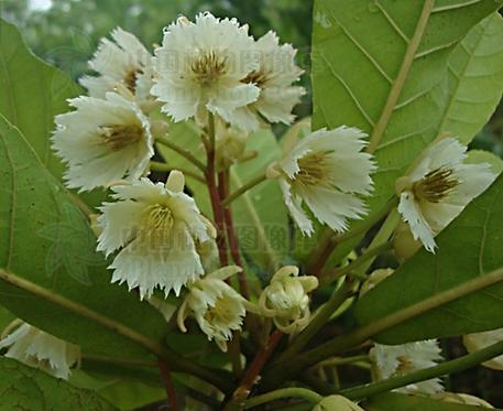 Elaeocarpus balansae seeds