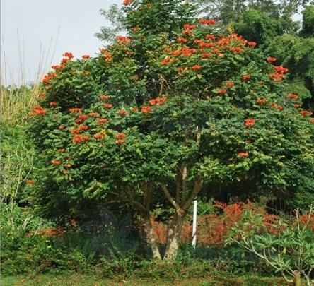Spathodea campanulata seeds