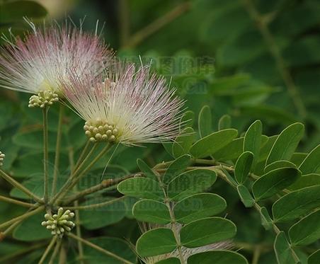 Albizia kalkora seeds