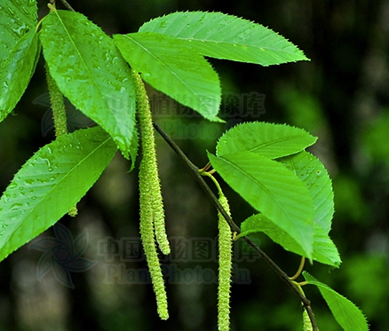 Betula luminifera seeds