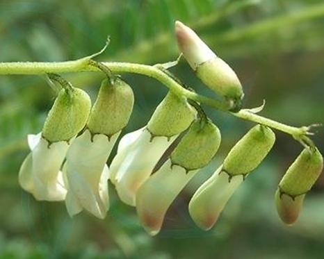 Asrtagalus monogholicus seeds