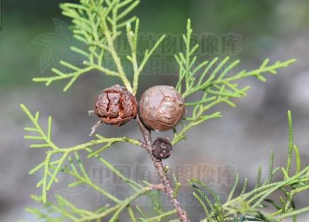 Cupressus torulosa seeds