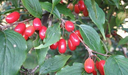 Elaeagnus sarmentosa seeds