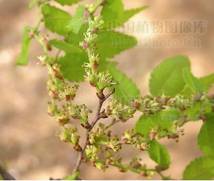 Zelkova serrata seeds