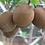 Thumbnail: naseberry seeds (Manilkara zapota)