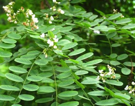 Dalbergia balansae seeds
