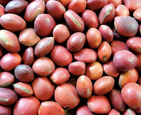 Ormosia hosiei seeds