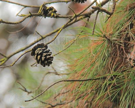 Pinus caribaea seeds