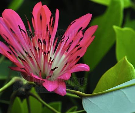 Rhodoleia championii seeds