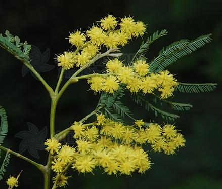 Acacia dealbata seeds