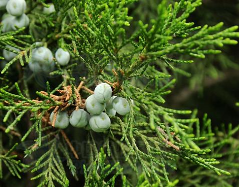 Sabina chinensis seeds