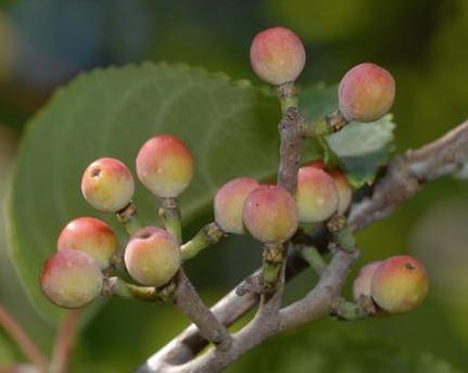 Tapiscia sinensis seeds