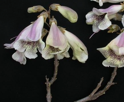 Paulownia fortunei seeds