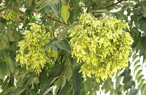 Ailanthus altissima seed
