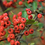 Thumbnail: Pyracantha fortuneana seeds