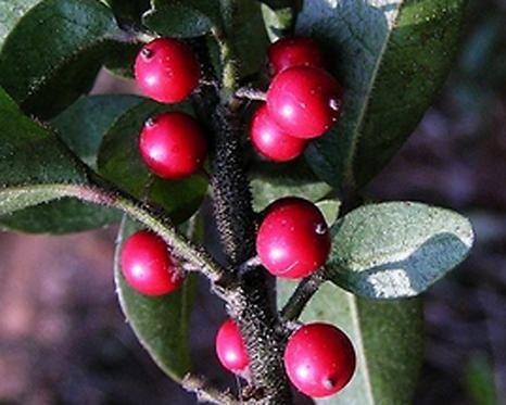 Ilex pubescens seeds