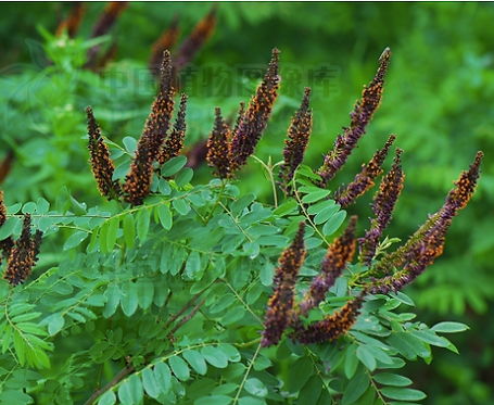 Amorpha fruticosa seeds