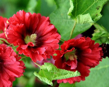 Alcea rosea - red