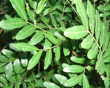 Pterocarpus indicus seeds