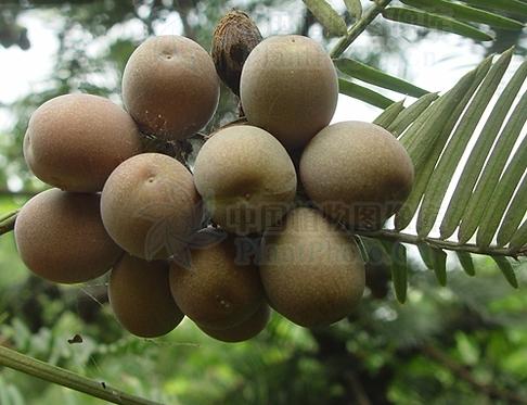 Cephalotaxus sinensis seeds