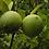 Thumbnail: lemon seeds (Citrus limon)
