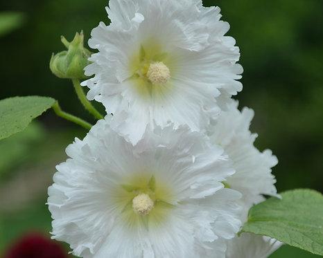 Alcea rosea - white