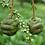 Thumbnail: Metasequoia glyptostroboides seeds
