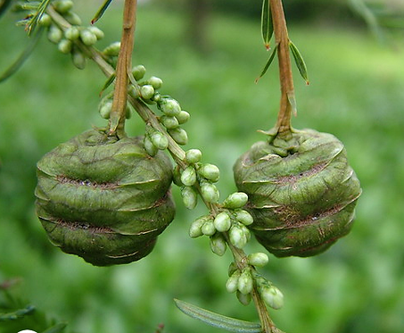 Metasequoia glyptostroboides seeds