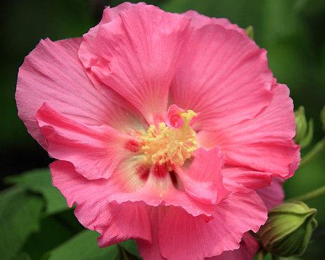 Hibiscus mutabilis seeds