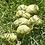 Thumbnail: Glyptostrobus pensilis seeds