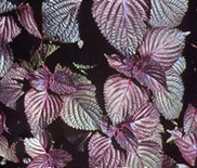 Perilla frutescens seeds (purple at both sides)