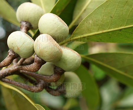 Schima wallichii seeds