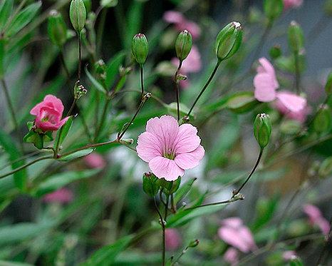 Vaccaria segetalis, Vaccaria hispanica seeds