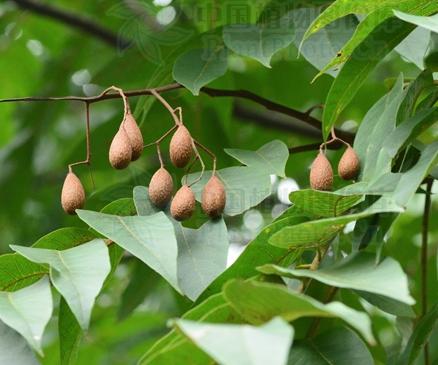 Toona ciliata  seeds