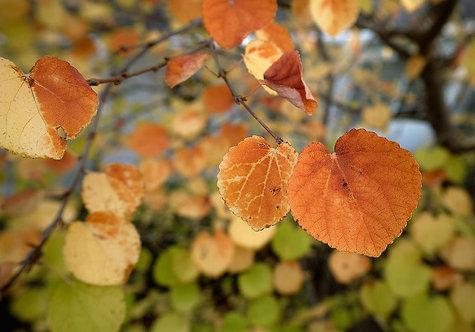 Cercidiphyllum japonicum seeds