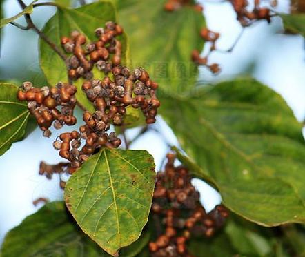 Hovenia acerba seeds