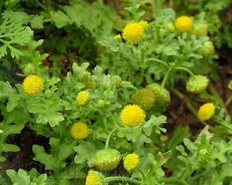 Grangea maderaspatana seeds