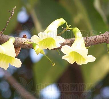 Radermachera hainanensis seeds