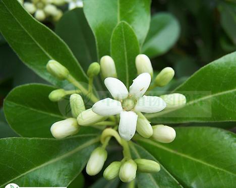 Pittosporum tobira seeds