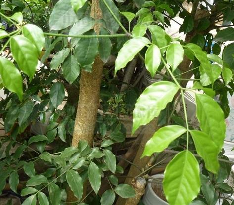 Heteropanax fragrans seeds