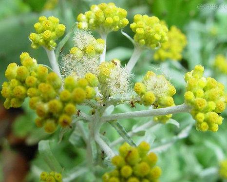 Gnaphaii Affinis seeds