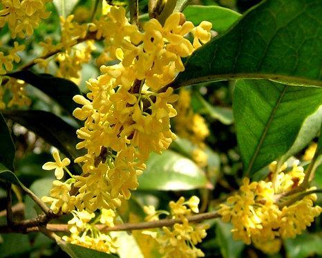 Osmanthus fragrans var. semperflorens seeds