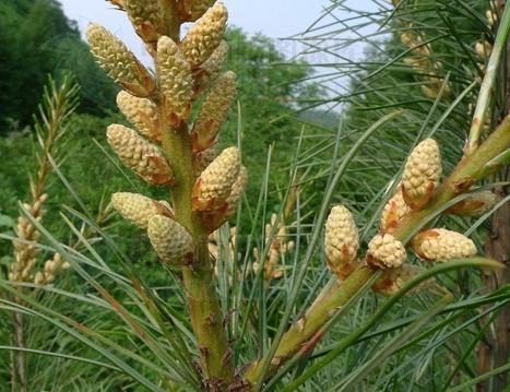 Pinus koraiensis seeds
